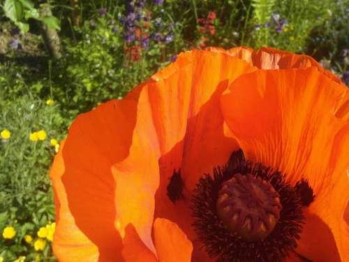 Poppy Orange Garden
