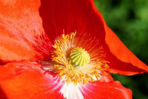 Poppy Blossom Bloom Section Colorful Gorgeous