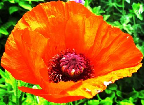 Poppy Red Blossom Bloom Meadow Landscape Summer