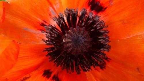 Poppy Red Blossom Bloom Flower Mohngewaechs