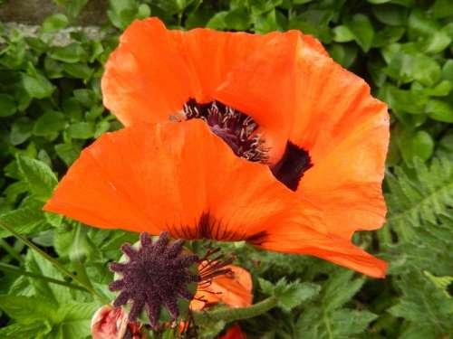 Poppy Flowers Country