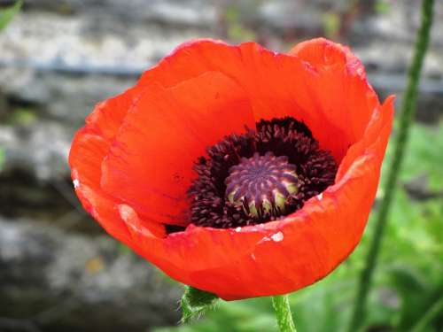 Poppy Flower Red Color Petal Flora Colorful