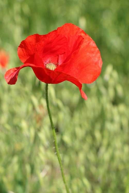 Poppy Flower Wildflower Red Blossom Bloom Nature