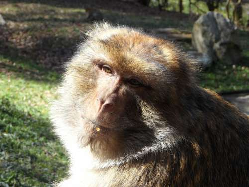 Portrait Monkey Barbary Ape Animal Animal Portrait