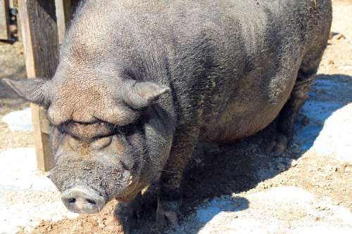 Pot Bellied Pig Pig Sow Thick Animal Farm