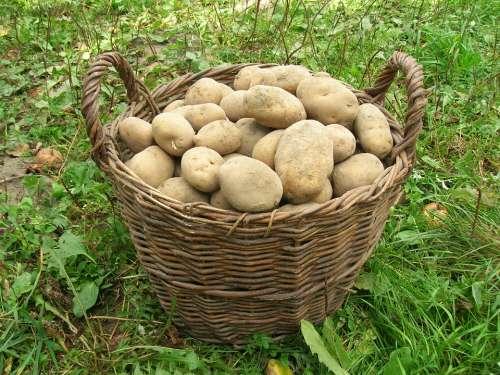 Potatoes Basket Harvest