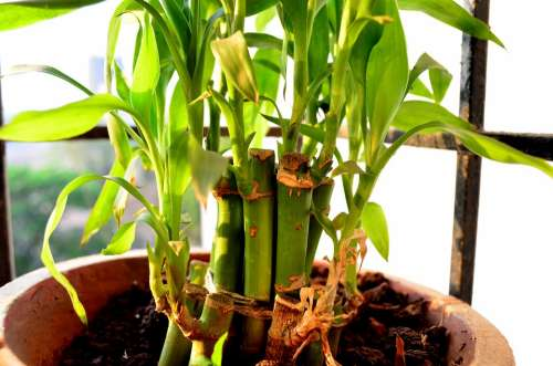 Potted Plant Green Plant Growing Bamboo