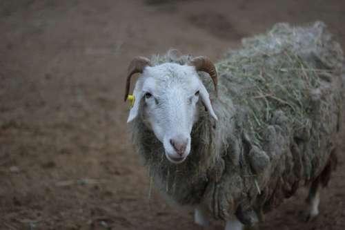 Prague Zoo Sheep