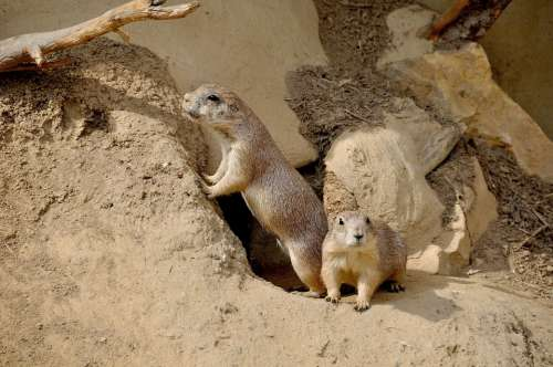 Prairie Dog Rodent Nager Zoo Animal Nature Couple