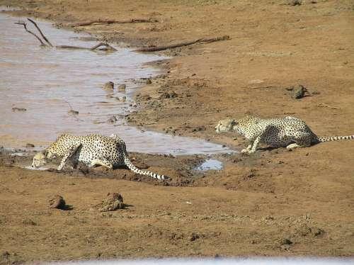 Predator Cheetah Animal World Creature Hunting