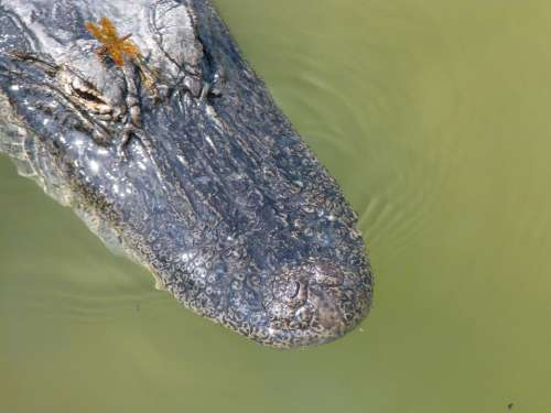Predator Animal Alligator Wilderness Hunter