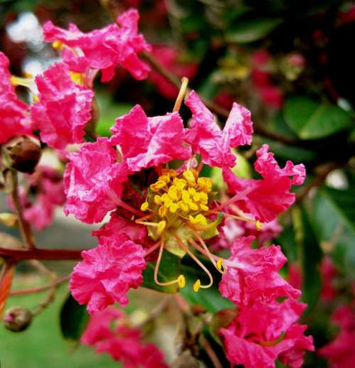 Pride Of India Flowers Blossoms Pink Stamen Yellow