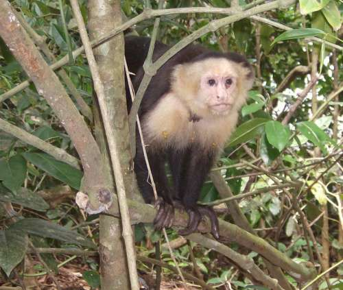 Primate Costa Rica Jungle Monkey Mammal Nature