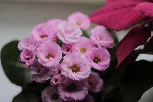 Primrose Flowers Plant Primula Vulgaris Bloom Pink
