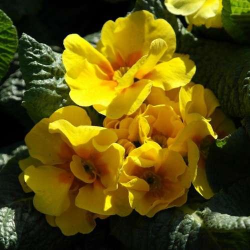 Primrose Yellow Flower Spring Season