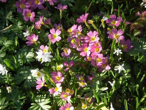 Primroses Flowers Plant White Primrose Spring
