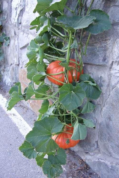 Pumpkin Leaves Fruits Nature Color Choose Edible