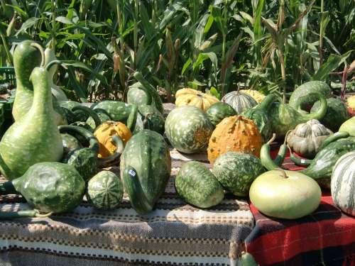 Pumpkin Green Autumn Decorative Squashes
