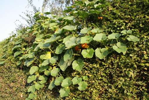 Pumpkin Bush Plant Leaves Green Orange Fruit Eat