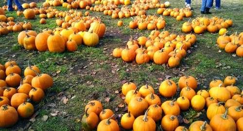 Pumpkins Orange Harvest Farm Halloween Autumn