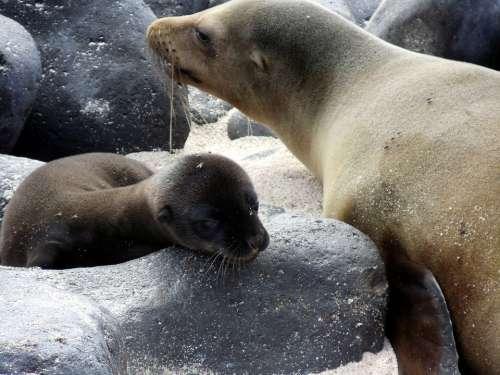Pup Mother Sea Lion Baby Bond Galapagos Islands