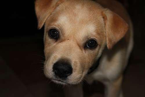 Puppy Sad Cute Unhappy Dog Dogs Labrador