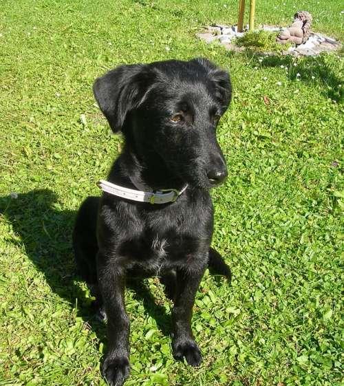 Puppy Labrador Dog Black Pet Meadow Close Up