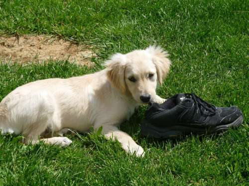 Puppy Shoe Playing Golden Retriever Grass Baby