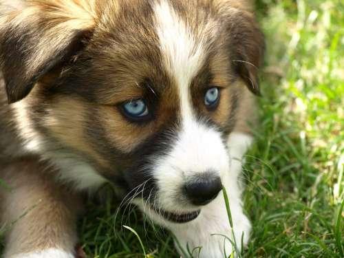 Puppy Blue Eye Hybrid Young Dog Black Eye Dog