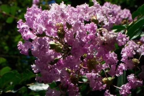 Purple Lilac Flowers Bunch Bush Green