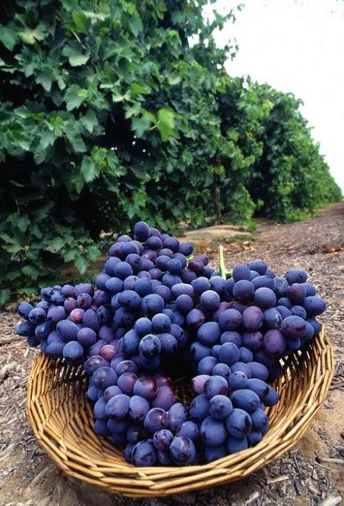 Purple Fresh Fruit Grapes Fruits Plants Flora