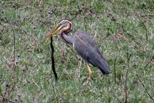 Purple Heron Ardea Purpurea Wader Heron Bird Kill