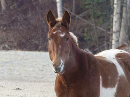 Quarter Horse Painted Horse Animal Mammal