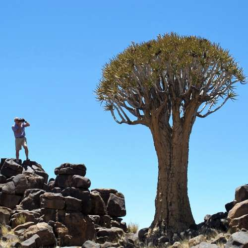 Quiver Tree Namibia Africa Tree Exotic