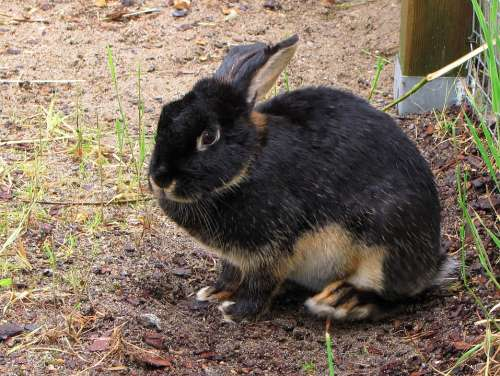 Rabbit Oryctolagus Pet Animal