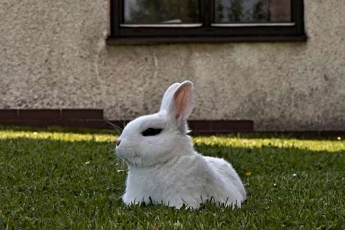 Rabbit Stunted White Lying Pet Lawn Window