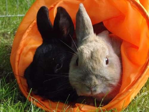 Rabbit Munchkins Pets