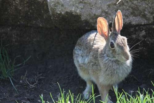 Rabbit Bunny Hare Animal Easter Mammal Ears