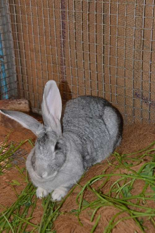 Rabbit Hare Animal Grey Pet Furry