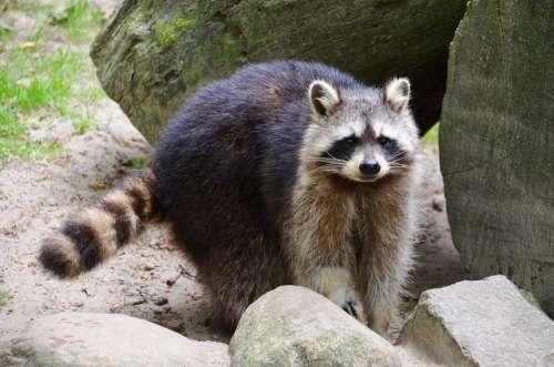 Raccoon Güstrow Eco-Park
