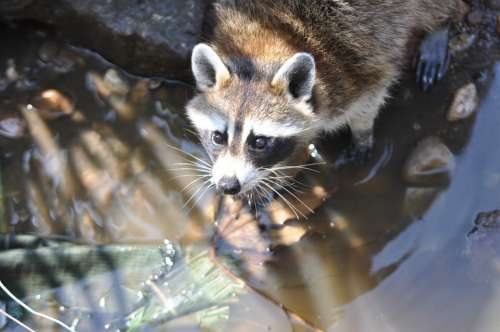 Raccoon Common Raccoon Procyon Lotor Wild Animal
