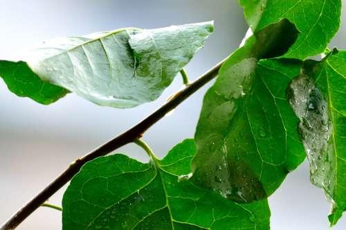 Rain Water Wet Drops Rainy Day Raindrops Plant