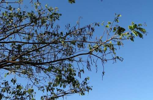 Rain Tree Tree Monkeypod Albizia Saman Sadhankeri