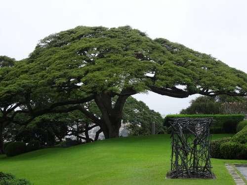 Rain Tree Samanea Saman Tree Mimosengewäch Hawaii