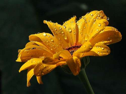 Raindrops Daisy Drops Dew Water Landscapes Nature