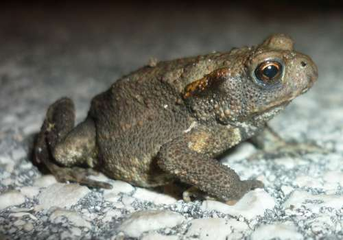 Rana Toad Amphibian Jump Amphibians Nature Frogs