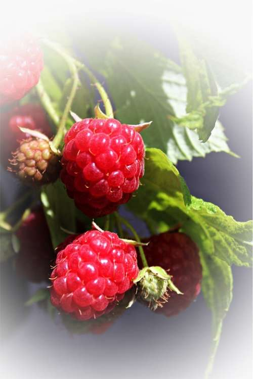 Raspberries Garden Soft Fruit Fruit Bush Berry