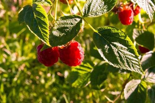 Raspberry Sun Fruits Sweet Red