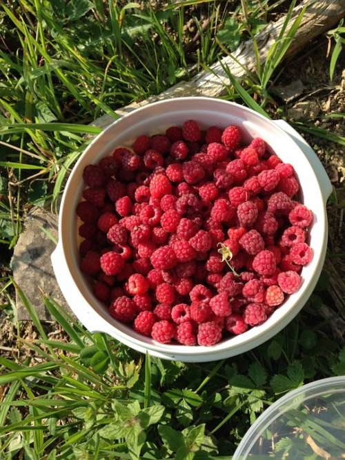 Raspberry Wild Raspberry Berry Red Fruit Harvest
