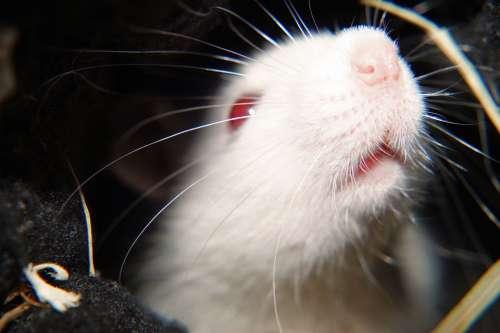 Rat White Female Laboratory Head Nose Prey